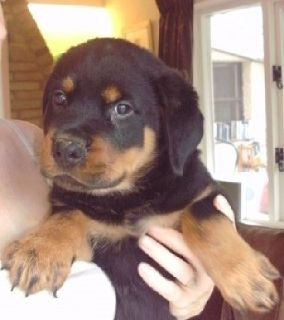 Rottweiler Bitch free To Good Home