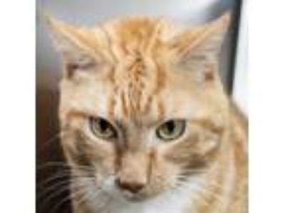 Adopt Baby Jack a Orange or Red American Bobtail cat in Middletown
