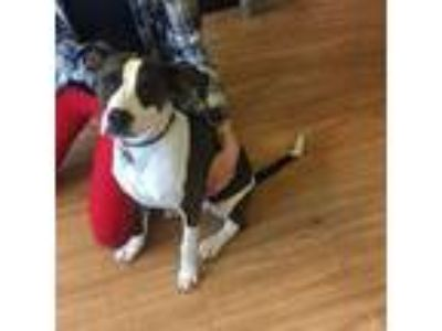 Adopt Cookie a Brindle - with White American Pit Bull Terrier / Labrador