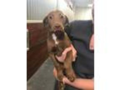 Adopt Dory a Brown/Chocolate - with White Labrador Retriever / Boxer / Mixed dog