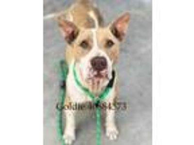 Adopt Goldie a Brown/Chocolate American Pit Bull Terrier / Mixed dog in Fort