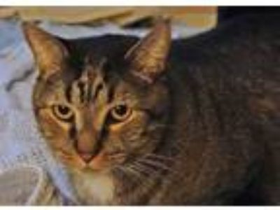 Adopt Gene a Domestic Short Hair, Tabby