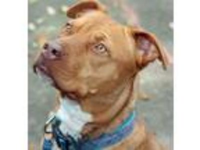 Adopt HONEY BUN a Brown/Chocolate - with White Pit Bull Terrier / Boxer / Mixed