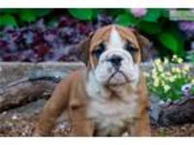 AKC Fifi Super Nice english bulldog puppy!