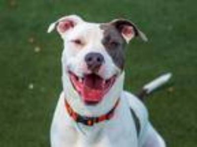 Adopt POGO a White - with Gray or Silver American Pit Bull Terrier / Mixed dog