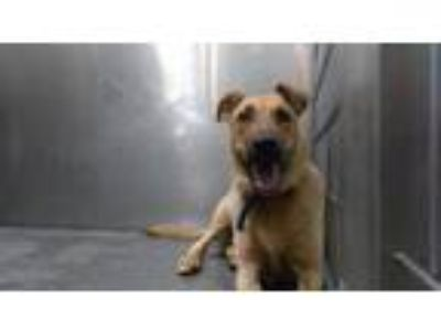 Adopt SHE SHE a Brown/Chocolate - with Tan German Shepherd Dog / Mixed dog in