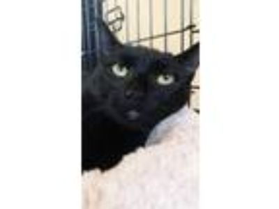 Adopt Luke a All Black Domestic Shorthair / Mixed cat in Greenville