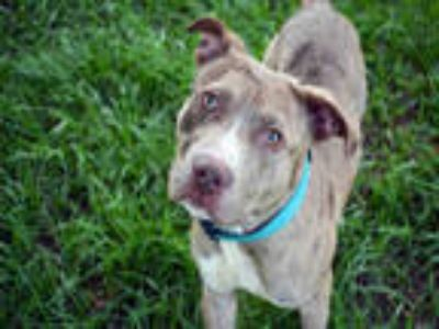 Adopt ROO a Merle American Staffordshire Terrier / Mixed dog in Fort Lauderdale