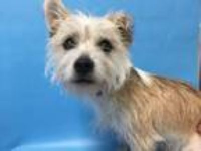 Adopt 41811813 a Terrier, Mixed Breed