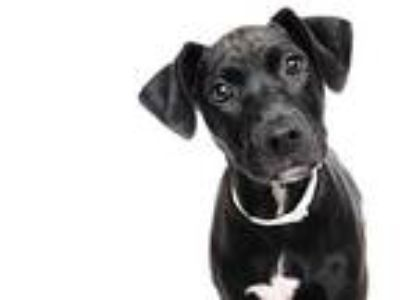 Adopt CINDY a Black Labrador Retriever / Mixed dog in Murray, UT (25913902)