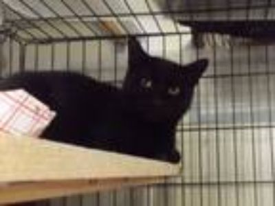 Adopt BELL a Domestic Short Hair