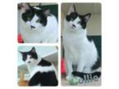 Adopt Collie a American Shorthair, Domestic Short Hair