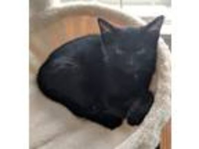 Adopt Charlie -- KITTEN - 13 WEEKS a Domestic Short Hair