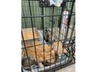 Adopt LT2 a Orange or Red Domestic Shorthair / Domestic Shorthair / Mixed cat in
