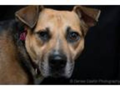 Adopt Allie a German Shepherd Dog, Shar Pei