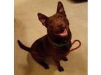 Adopt Belden (Courtesy Post) a Doberman Pinscher, Pit Bull Terrier