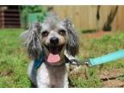 Adopt Ricky a Poodle (Standard) / Mixed dog in Pendleton, SC (25263714)