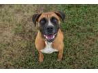 Adopt Lee Roy a Boxer, Shepherd