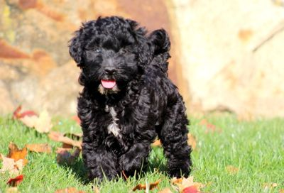 Pomsky-Goldendoodle Mix PUPPY FOR SALE ADN-52133 - Goldendoodle Mix Puppy For Sale