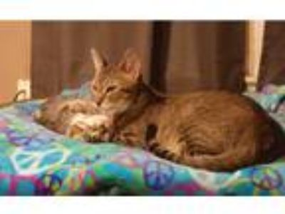 Adopt Ellie a Domestic Shorthair / Mixed cat in San Angelo, TX (19382287)