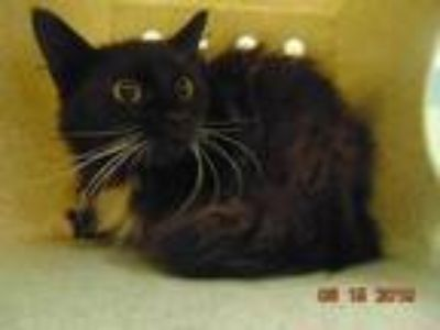 Adopt AUGUST a Brown or Chocolate (Mostly) Domestic Shorthair / Mixed (short