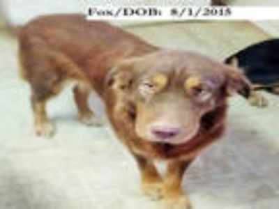 Adopt FOX a Tan/Yellow/Fawn - with White Shar Pei / Mixed dog in San Antonio
