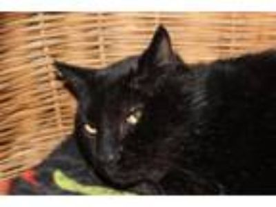 Adopt Tyler a All Black Domestic Shorthair / Mixed cat in Arlington