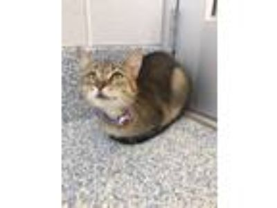 Adopt Shorty a Domestic Short Hair