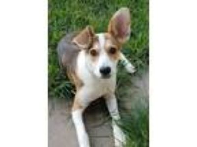 Adopt Ginger a Beagle / Shepherd (Unknown Type) / Mixed dog in Crocker