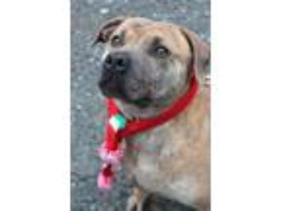 Adopt Emma Hope a Pit Bull Terrier / Terrier (Unknown Type