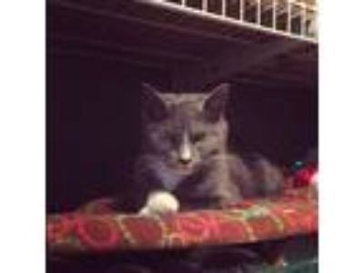 Adopt Sadie a Gray or Blue (Mostly) American Shorthair / Mixed (short coat) cat