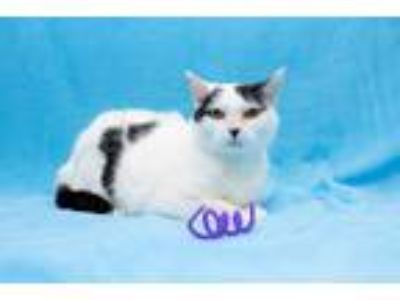 Adopt Dots a Black & White or Tuxedo Domestic Shorthair (short coat) cat in