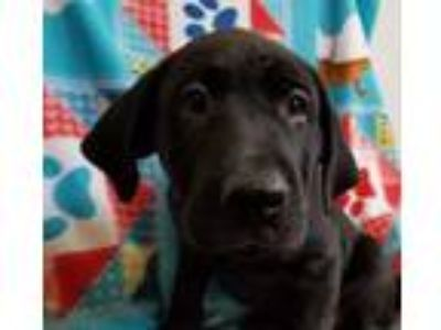 Adopt Dakota a Black Labrador Retriever