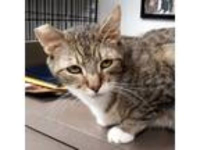 Adopt Sweet Jack - Vacaville a Domestic Shorthair / Mixed (short coat) cat in