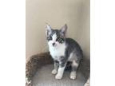 Adopt Sapphire - In Foster a Domestic Short Hair