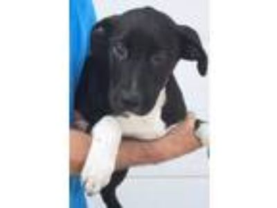 Adopt Gulliver a Black Border Collie / Mixed dog in Bloomingdale, IL (25335449)