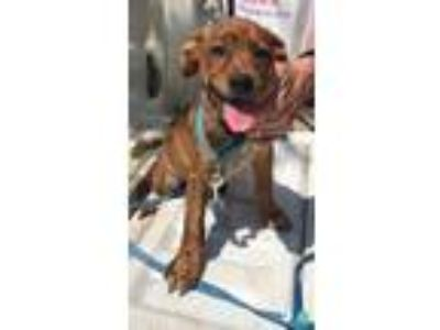 Adopt Snickers a Brindle - with White Leonberger / Australian Shepherd / Mixed