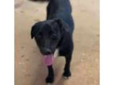 Adopt Mitch a Labrador Retriever