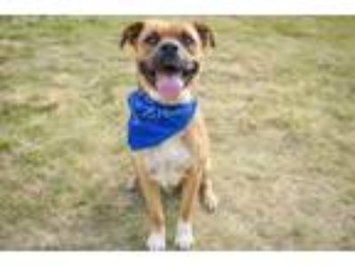 Adopt Ray a Shepherd, American Staffordshire Terrier