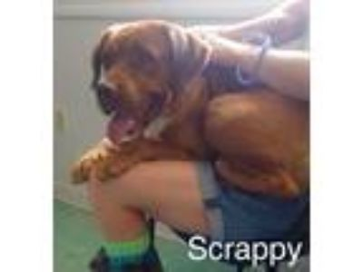 Adopt Scrappy a Brown/Chocolate Hound (Unknown Type) / Mixed dog in Mohawk