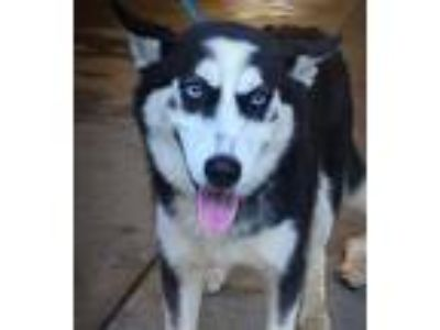 Adopt Paloma a Black - with White Siberian Husky / Husky / Mixed dog in Roswell