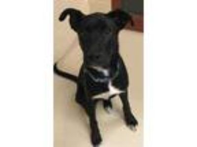 Adopt MURRAY a Black - with White Labrador Retriever / German Shepherd Dog /