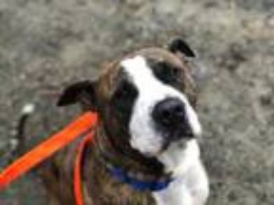 Adopt Hue a Brindle Boxer / Mixed dog in Augusta, ME (25229506)