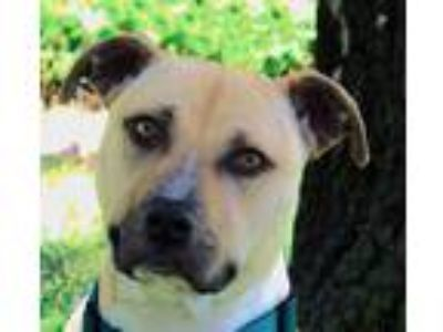 Adopt Baby Angel a American Pit Bull Terrier / Mixed dog in Oakland
