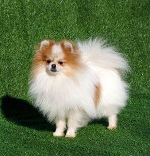 Pomeranian PUPPY FOR SALE ADN-72638 - Male Pomeranian from Europe