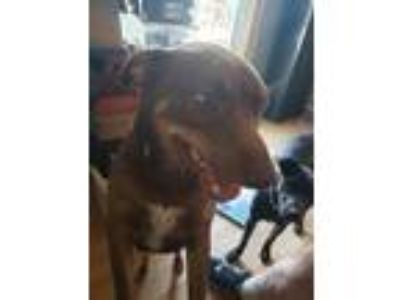Adopt Ace a Brown/Chocolate Basset Hound dog in Lavalle, WI (24417609)