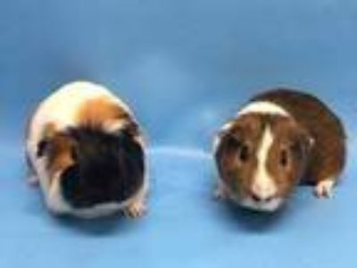 Adopt Zyler a Red Guinea Pig / Mixed small animal in Golden Valley
