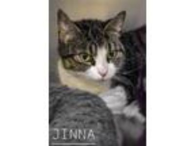 Adopt Jinna a Gray or Blue Domestic Shorthair / Domestic Shorthair / Mixed cat