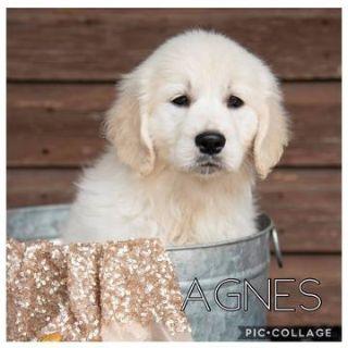 Golden Retriever PUPPY FOR SALE ADN-103258 - English Cream Puppies