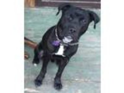 Adopt Blue a Black Pit Bull Terrier / Mixed dog in Columbus, OH (24423004)